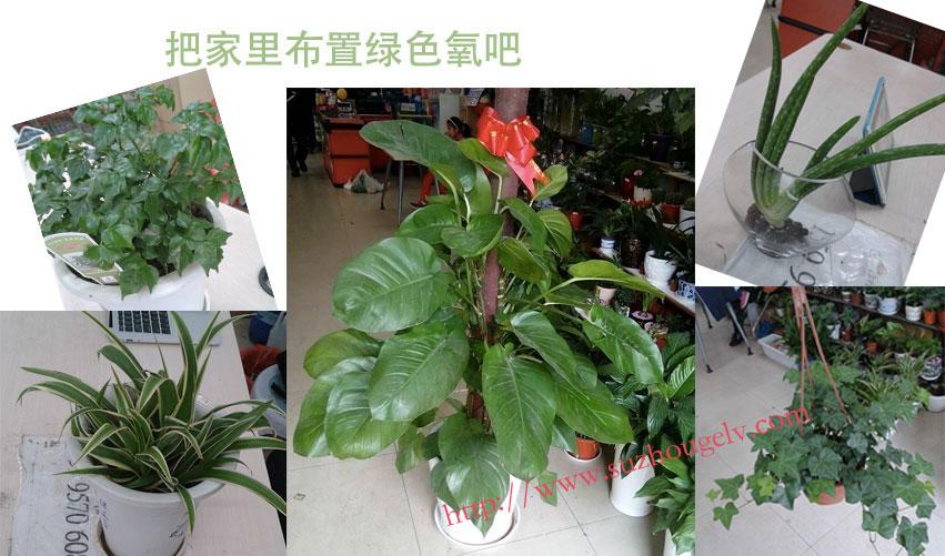 苏州家庭室内绿化组合(大绿萝+吊兰+常青藤+幸福树+芦荟)